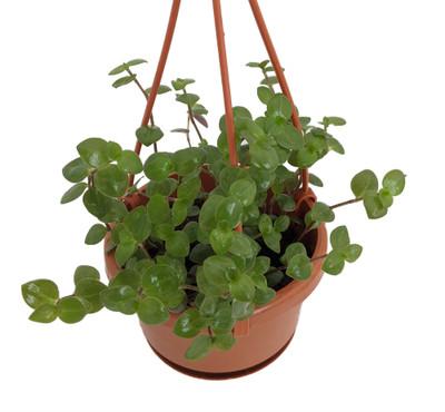 "Green Bolivian Jewel - Turtle Vine - Callisia Repens - 4"" Mini Hanging Basket"