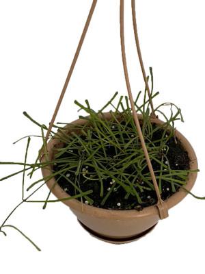 "Rare Frog Toe Wax Plant - Hoya retusa - Collector's Series - 6"" Hanging Basket"