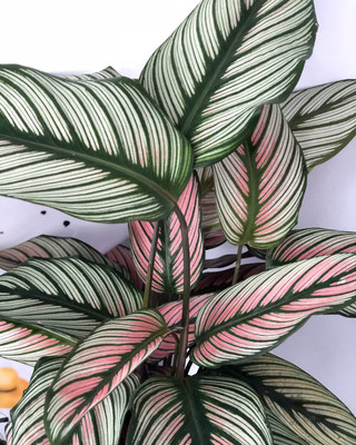 "Rare White Star Peacock Plant - Calathea - Easy House Plant - 4"" Pot"
