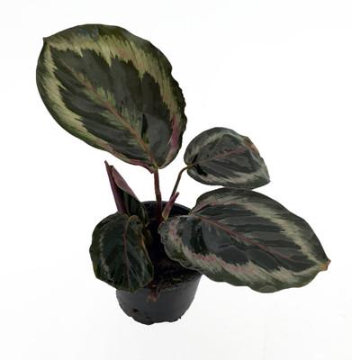 "Shine Star Prayer Plant - Calathea - Easy House Plant - 4"" Pot"