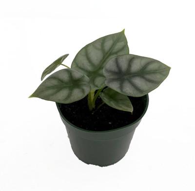 "Silver Dragon African Mask Plant - Alocasia - Houseplant - 4"" Pot"