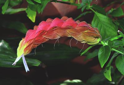 "Shrimp Plant - Justicia brandegeeana - Indoors or Out - Rare - 2.5"" Pot"
