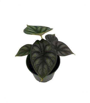 "Dragon Scale African Mask Plant - Alocasia - Houseplant - 4"" Pot"