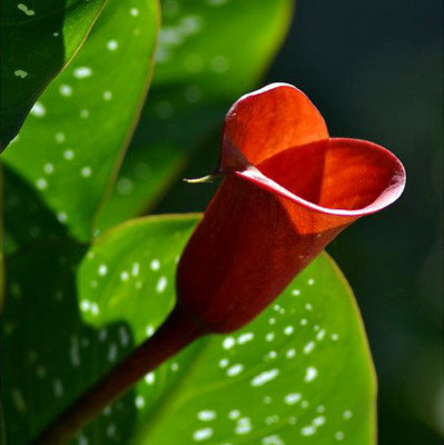 Red Emotion Calla Lily Bulb 14/16cm - Luscious Red - New!