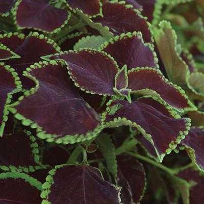 "Chocolate Bar Solenostemon/Coleus - Vibrant Foliage - 2.5"" Pot - Easy to Grow"