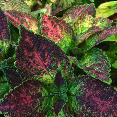 "Tapestry Solenostemon/Coleus - Vibrant Foliage - 2.5"" Pot - Easy to Grow"