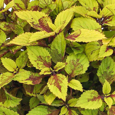 "Pineapple Solenostemon/Coleus - Vibrant Foliage - 2.5"" Pot - Easy to Grow"