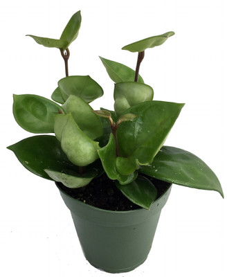 "Chelsea Wax Plant - Hoya Carnosa - Great House Plant - 4"" Pot"