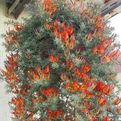 "Lotus Vine Parrot's Beak Plant - Great in Hanging Baskets - 2.5"" Pot"