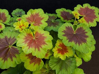 "Occold Shield Fancy Leaf Geranium - Pelargonium - Indoors/Out - 4"" Pot"