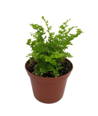"Emerald Vase Fern - Nephrolepis exaltata - 2.5"" Pot - Upright Boston Fern"