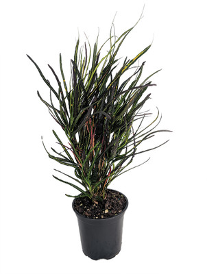 """Picasso's Paintbrush Croton - 4"""" Pot - Colorful House Plant - Collector's Series"""