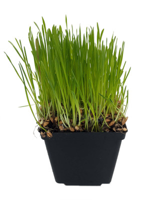 "Organic Catgrass - Herb For Your Feline - 4"" Pot - Live Plant"