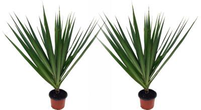 "Madagascar Dragon Trees - Dracaena marginata - 2 Plants - 3"" Pots - Easy to Grow"