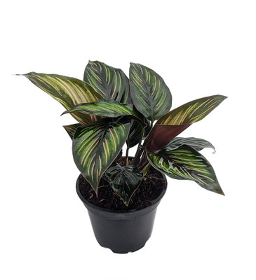 "Beauty Star Peacock Plant - Calathea - Easy House Plant - 4"" Pot"