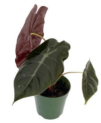 "Chantrieri African Mask Plant - Alocasia - Houseplant - 4"" Pot"