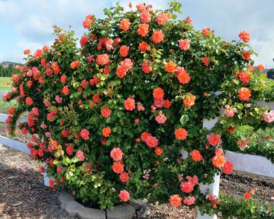 Above All™ Climbing Rose Bush - Bareroot