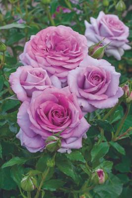 Violet's Pride® Downton Abbeys Floribunda Rose Bush - Bareroot