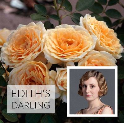 Edith's Darling® Downton Abbey® Shrub Rose Bush - Bareroot