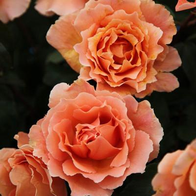 Just Joey® Hybrid Tea Rose Bush - Apricot Blooms - Bareroot