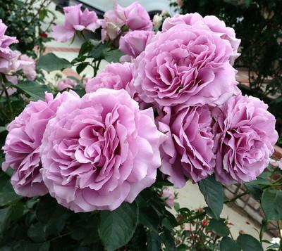 Love Song® Floribunda Rose Bush - Bareroot