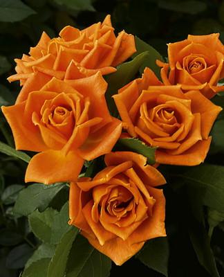 Pumpkin Patch® Floribunda Rose Bush - Bareroot