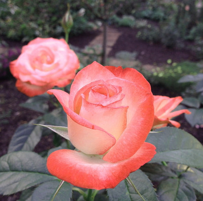 Coretta Scott King® Grandiflora Rose Bush - Bareroot