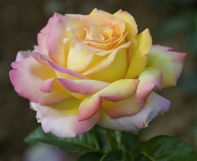 Peace Hybrid Tea Rose Bush - Bareroot - The Most Popular Rose In The World