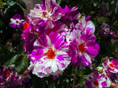 Purple Splash™ Climbing Rose Bush - Bareroot