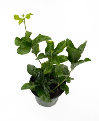 """Little Duke of Tuscany - Arabian Jasmine Plant - Fragrant Double Bloom - 4"""" Pot"""