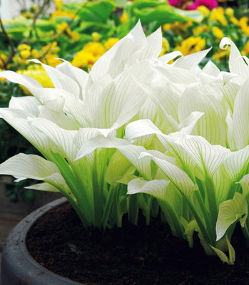 Filigree Feather Hosta - Uniquely colored foliage - Bareroot