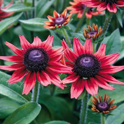 "Cherry Brandy Black-Eyed Susan - 4"" Pot - Rudbeckia"