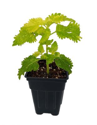 "Wild Lime Solenostemon/Coleus - 2.5"" Pot - Easy to Grow"