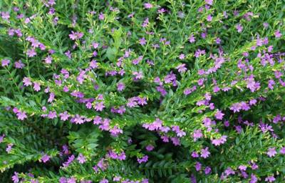 "Allyson Mexican Heather Plant - Cuphea hyssopifolia - Indoors or Out - 2.5"" Pot"