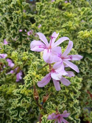 """French Lace Scented Leaf Geranium - 4"""" Pot - Pelargonium"""