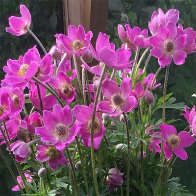 "Spring Beauty™ Pink Anemone Perennial - 4"" Pot"