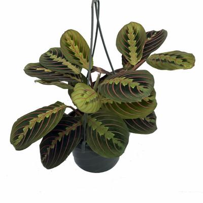 "Red Prayer Plant - Maranta - Easy to Grow House Plant - 6"" Hanging Basket"