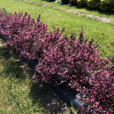 "VERY FINE WINE™ Weigela - Perennial Shrub - Pink Blooms - 4"" Pot - Proven Winners"
