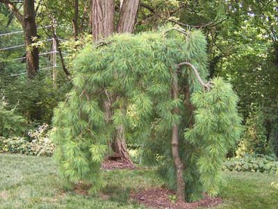 """Weeping Eastern White Pine - Pinus strobus Pendula - 5.5"""" Pot"""