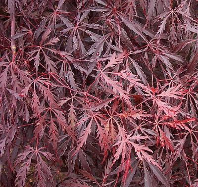 "Tamukeyama Japanese Maple - Bonsai or Outdoors - Acer palmatum - 5.5"" Pot"