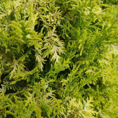 "SOFT SERVE® Gold False Cypress - Chamaecyparis - 4"" Pot - Proven Winners"