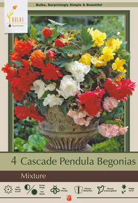 Fragrant Double Cascade Begonia Odorosa Mix 4 Bulbs - First Fragrant Begonia