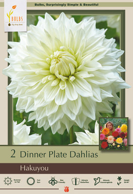 Hakuyou Decorative Dinnerplate  Dahlia - 2 Bulb Clumps