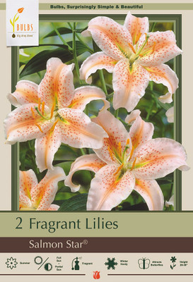 Salmon Star Oriental Lily - 2 Bulbs 16/18 cm - Rich Salmon Hue