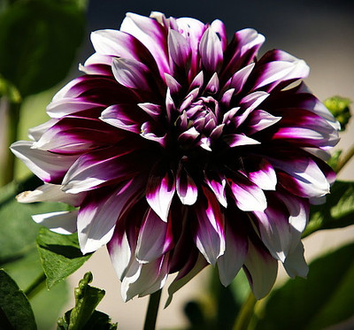 Mystery Day Deocorative Dahlia - 1 Top Size Clump - Deep Burgundy!