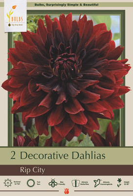 Rip City Decorative Dahlia - 2 Root Clumps - Deep, Dark Red