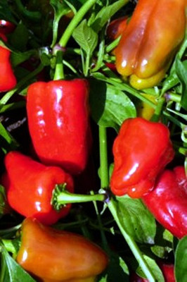 Cajun Belle Pepper 20 Seeds -AAS Vegetable Award Winner
