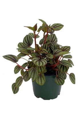 "Piccolo Banda Peperomia - Peperomia albovittata - 4"" Pot  - Easy to Grow"