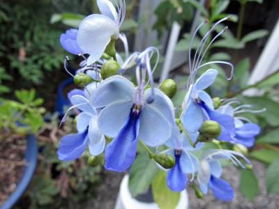 """Rare Blue Wings Butterfly Plant - Clerodendrum ugandense - Indoors/Out - 2.5"""" Pot"""
