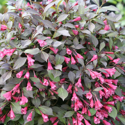 "MIDNIGHT WINE SHINE™ Weigela - Proven Winners - 4"" Pot"